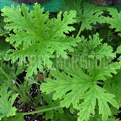 Quebec photos de plantes et fiches descriptives d taill es - Plante qui attire les moustiques ...