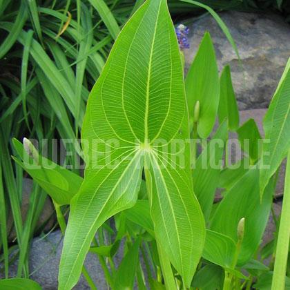 plante aquatique indigene quebec