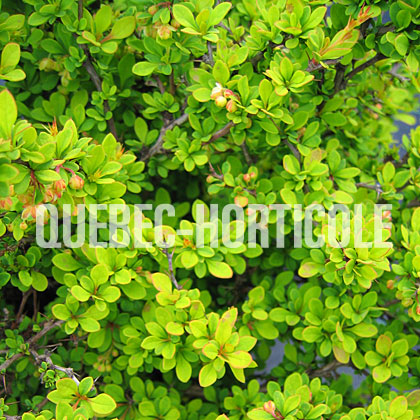 image de Berberis thunbergii Sunsation