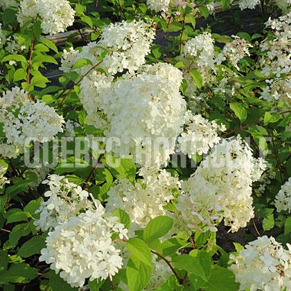 Quebec photos de plantes et fiches for Plantes pour jardin anglais