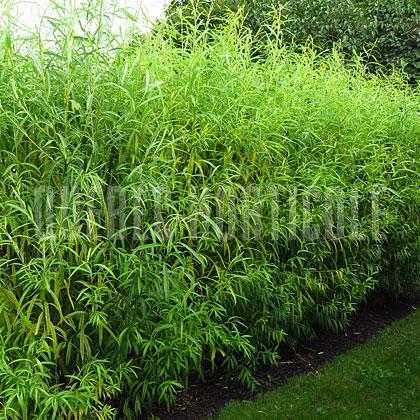 Plante anti bruit