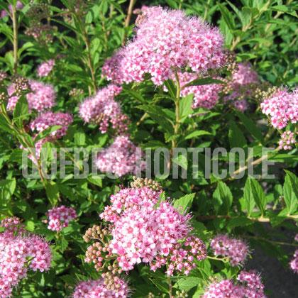 Image de spiraea japonica alpina