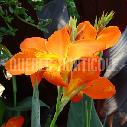 image de Canna Orange Punch