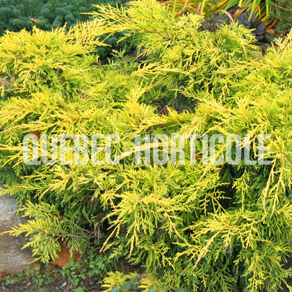 image de Juniperus chinensis  Gold Lace