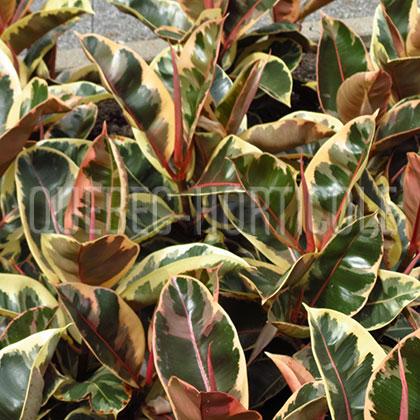 Quebec photos de plantes et fiches for Caoutchouc plante exterieur