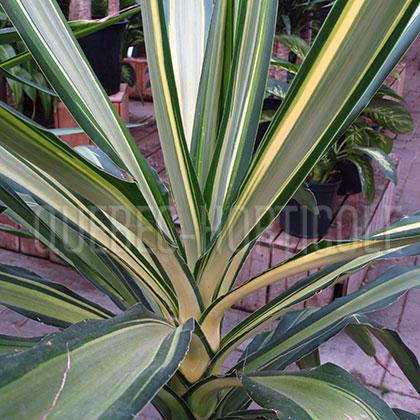 Quebec photos de plantes et fiches for Yucca elephantipes exterieur