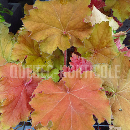 image de Heuchera Big Top Gold