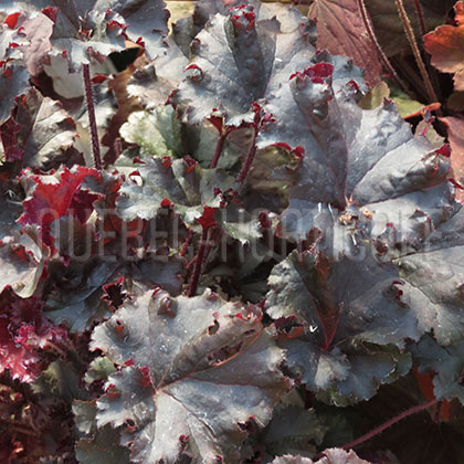 image de Heuchera Dark Secret