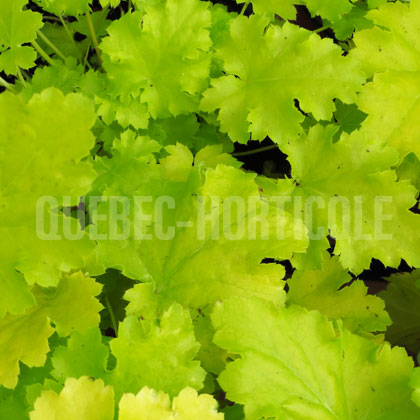 image de Heuchera x Lime Rickey