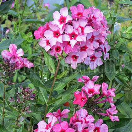 Quebec photos de plantes et fiches descriptives d taill es - Phlox vivace couvre sol ...