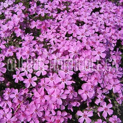 Quebec photos de plantes et fiches - Phlox vivace couvre sol ...