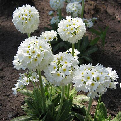 image de Primula denticulata alba
