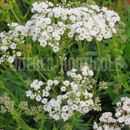 Quebec photos de plantes et fiches - Fleurs vivaces longue floraison ...
