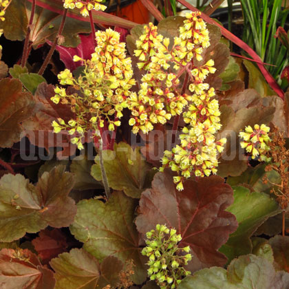 image de Heuchera Blondie